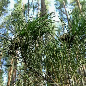 Fresh Pine & Fir Needle